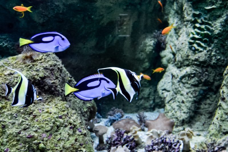 Blue tang and moorish idol