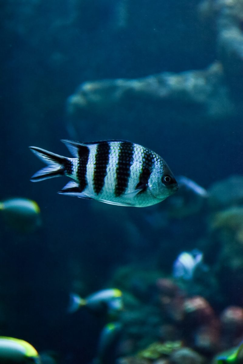 Three stripe damsel fish