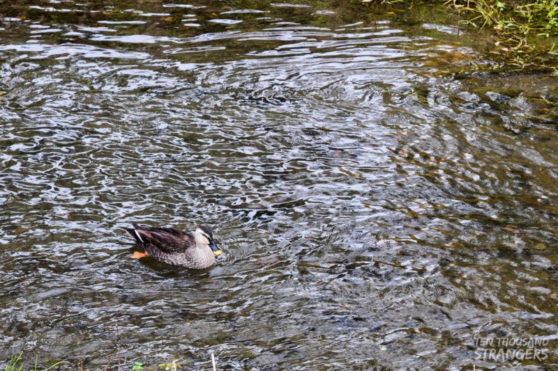 Duck at the Kawagoe creek