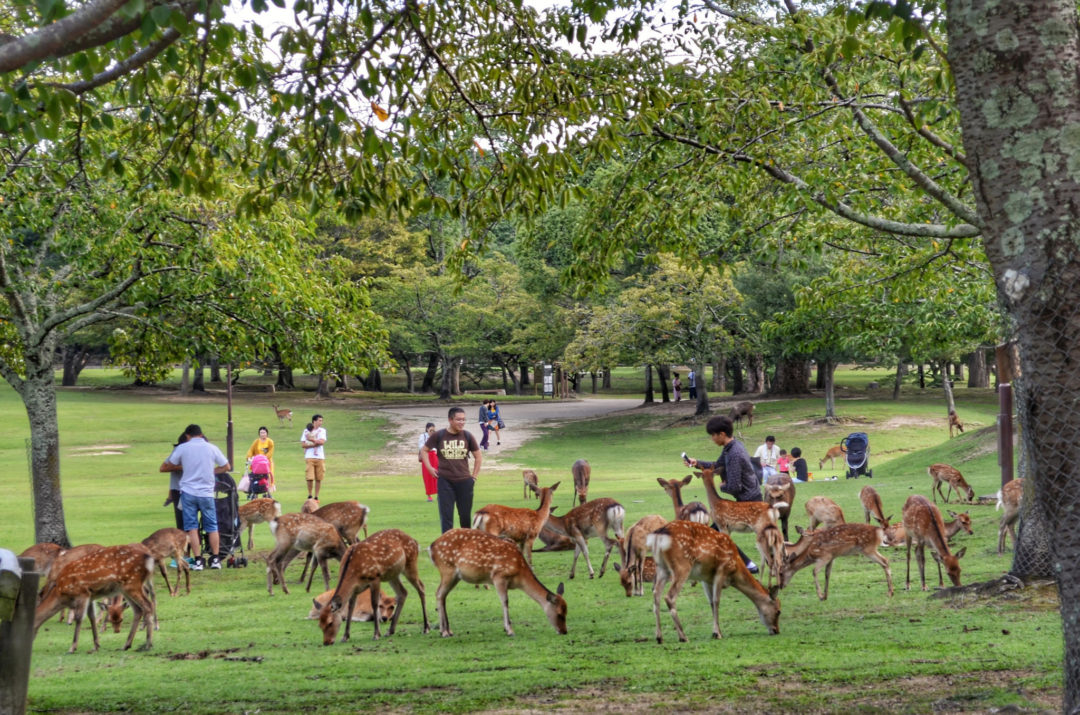 Deer of Nara Park, Nara Prefecture