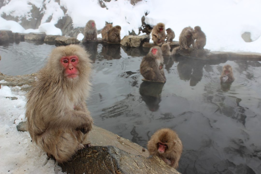 Snow Monkeys at Jigokudani Monkey Park, Nagano Prefecture