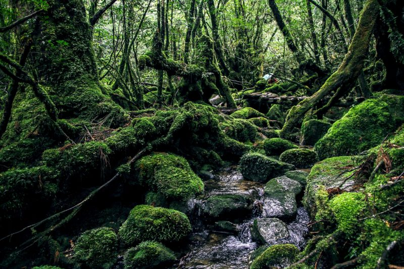Temperate Ancient Forest of Yakushima, Kagoshima Prefecture